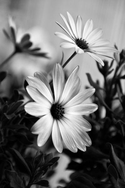 Crisantemos by Carlos Larios