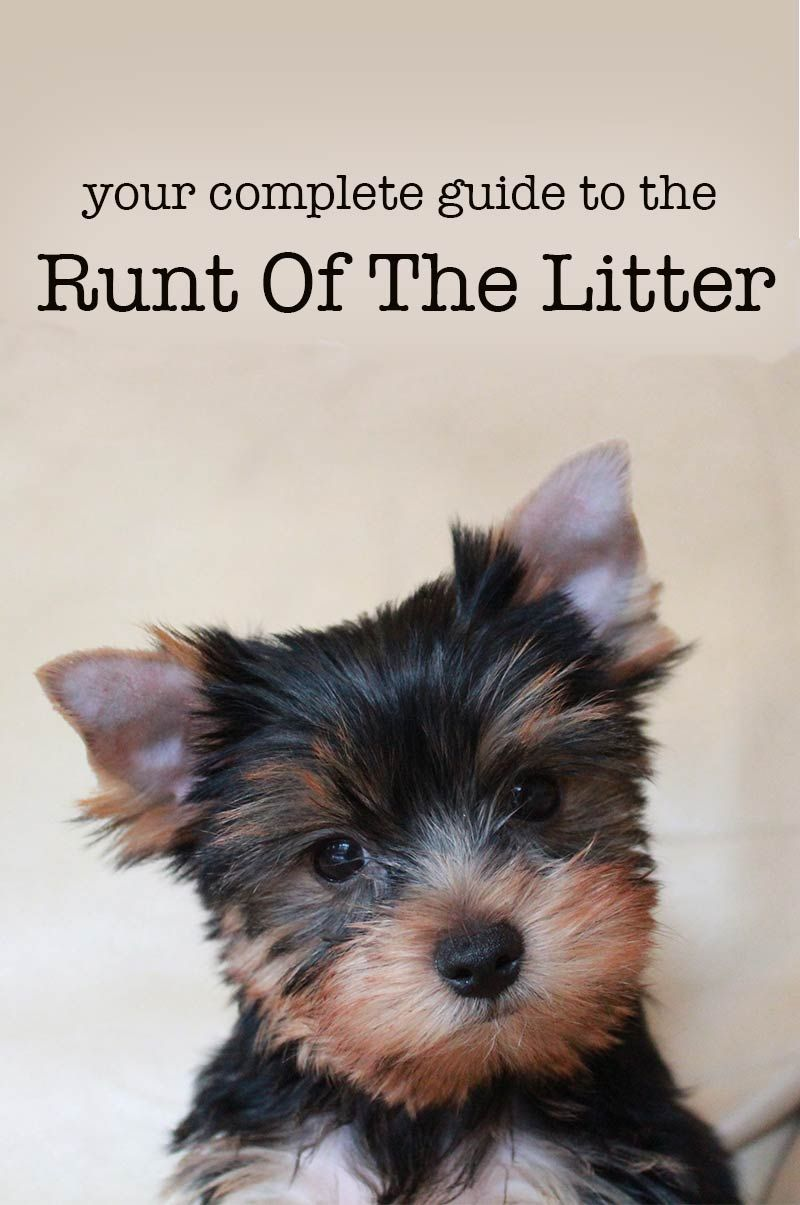 Runt Of The Litter Health Problems And Caring For Runt Puppies