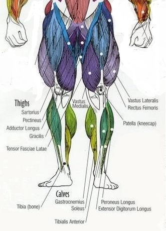 Muscle Diagrams Major Muscles Exercised Weight All The Major Muscle