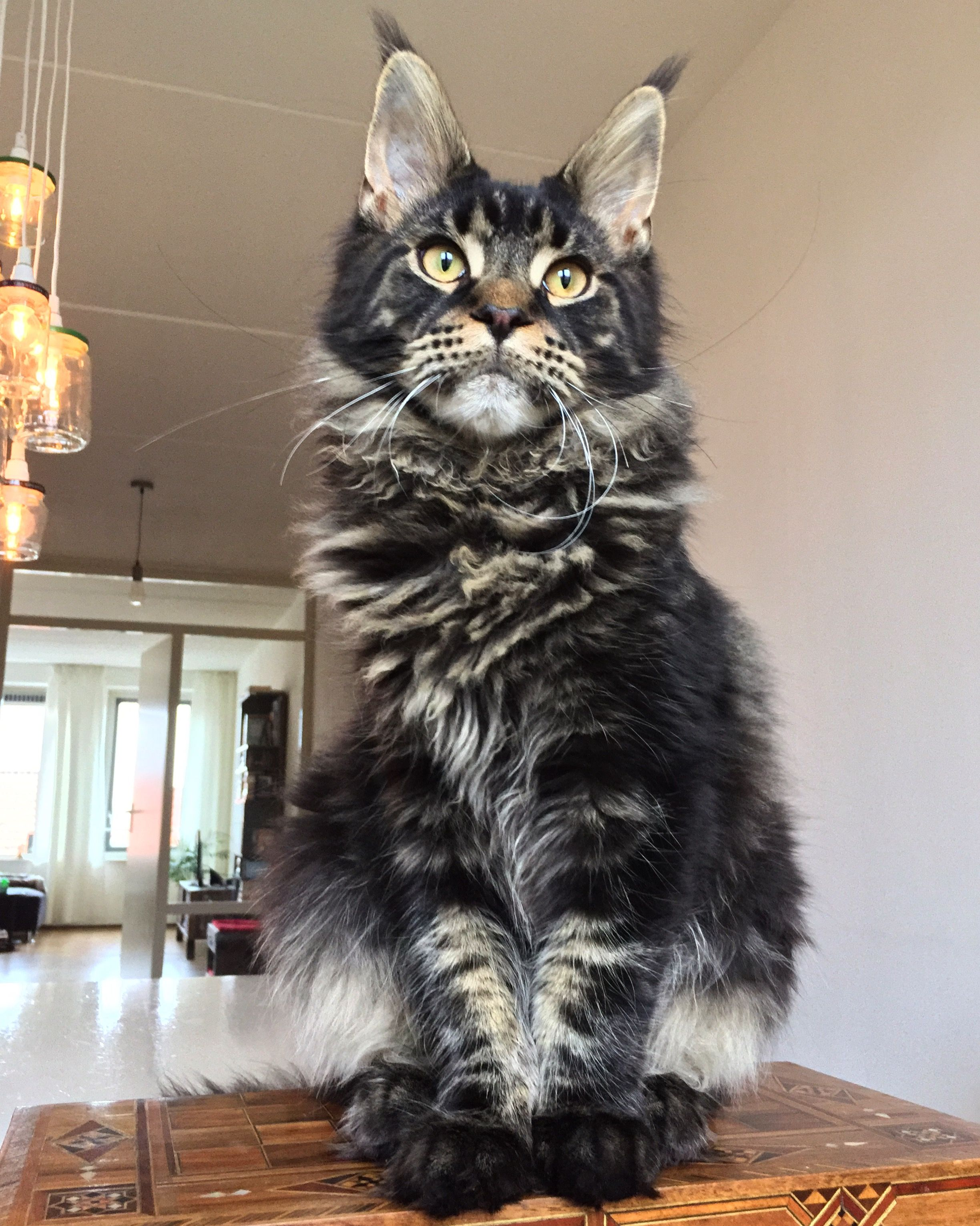Maine Coon Personality Traits | Beautiful Maine Coon Cats