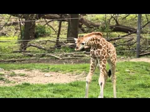 New Giraffe Calf at the Bronx Zoo