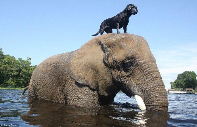 Une amitié entre un éléphant et un labrador - 2Tout2Rien