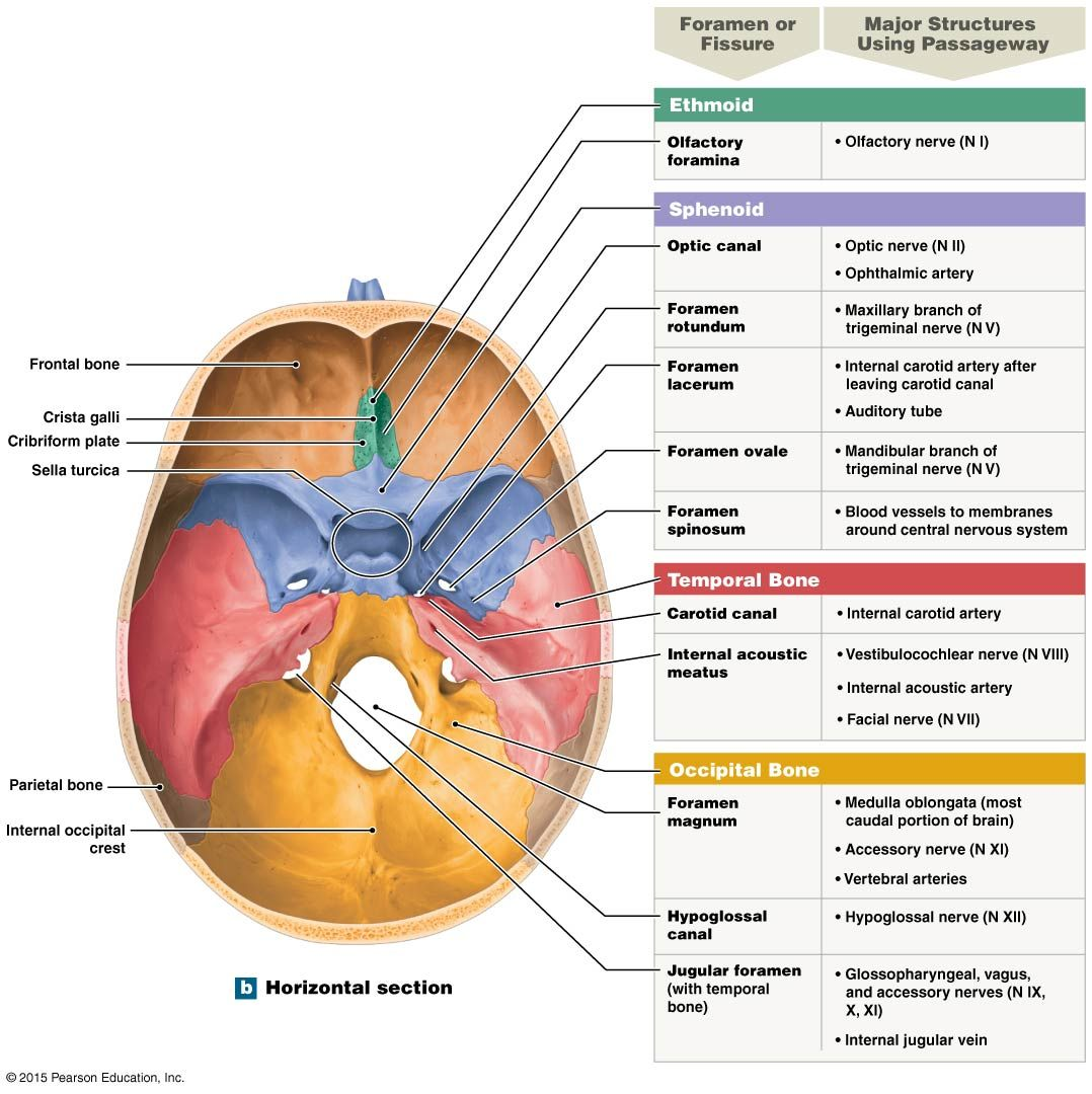 The Floor Of The Cranium Anatomy And Physiology Diagrams Pinterest