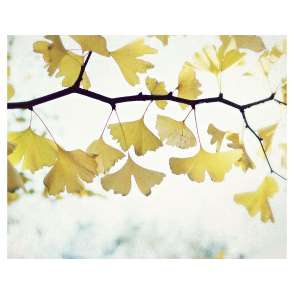 Botanical photography print yellow gold ginkgo tree leaves minimal ...