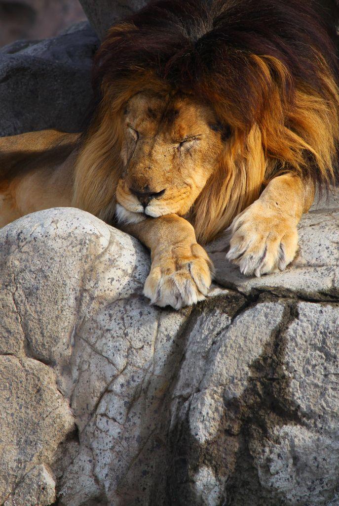 The Tokens - The Lion Sleeps Tonight Lyrics | AZLyrics.com