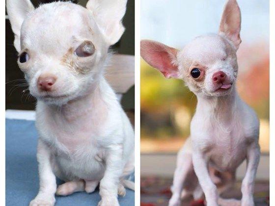 Help Diablo Chi Pup With Hydrocephalus Pet Expenses