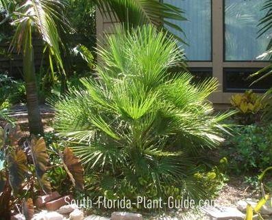 European Fan Palm European Fan Palm Florida Plants Palm Trees Landscaping