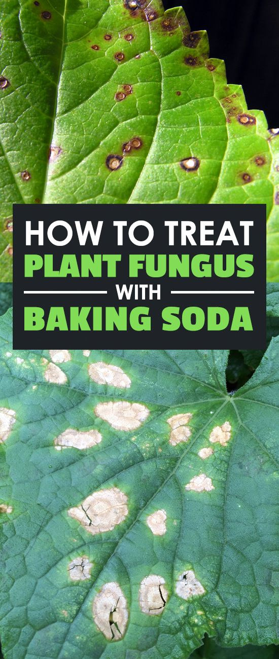 How to Treat Plant Fungus with Baking Soda Plant fungus