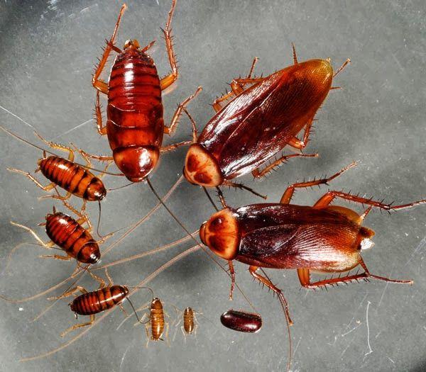 8 Cach đuổi Gian Hiệu Quả Từ Những Nguyen Liệu Dễ Kiếm Cockroaches Insect Control Pest Control