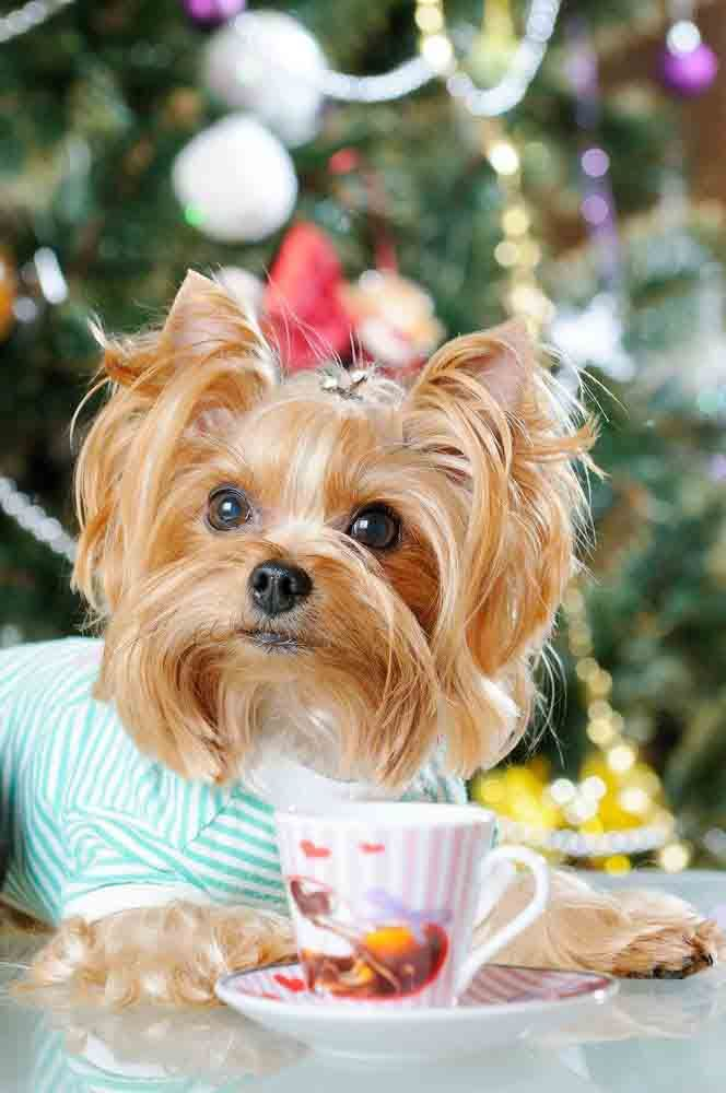 yorkie puppy names female yorkie names cute male female yorkshire terrier names 4252