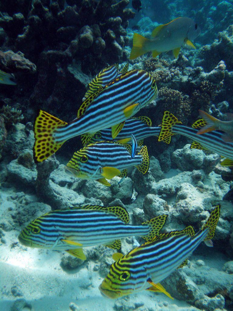 Maldives Oriental sweetlips