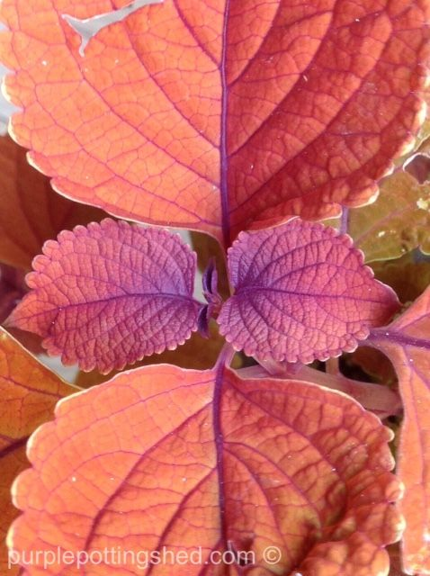 Coleus, easy rich foliage colour, an annual I depend on, www.purplepottingshed.com