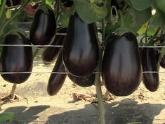 Photo of Выращивание баклажанов в открытом грунте