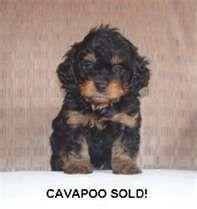 Pin By Danielle Ogram Gabe On Fur Babies Cavapoo Puppies Cavapoo Puppies