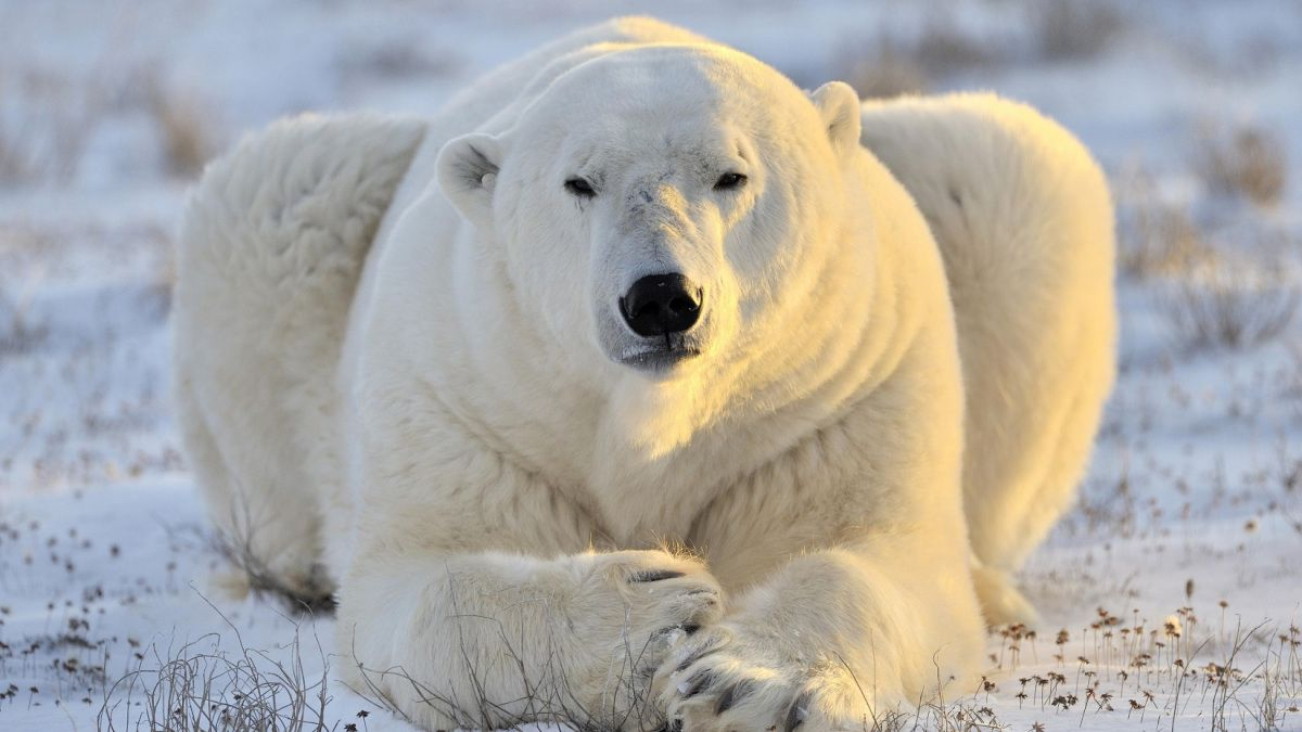 Ours Blanc Voyage Onirique Ours Polaire Animales Ours Blanc