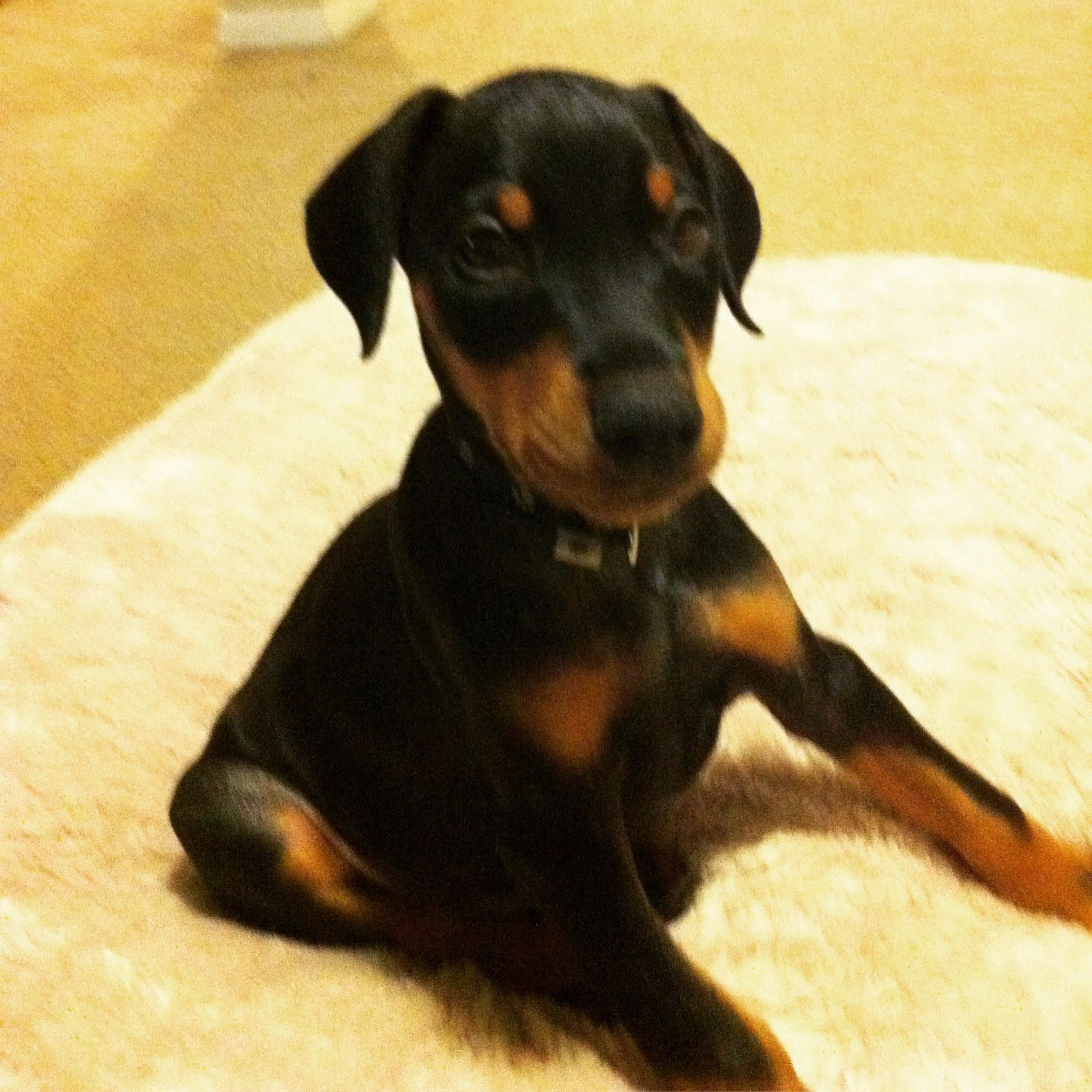 Pin By Linecorner On Pets Puppies Doberman Dogs