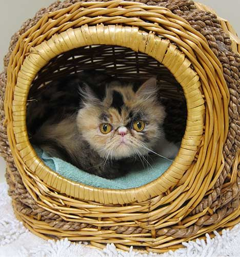 Furby the calico Persian who looks like a furby! Kitten
