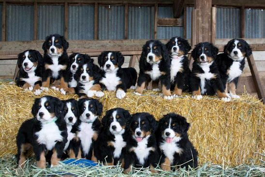 Bernese Mountain Dog Puppies Puppy Litter Dogs And Puppies
