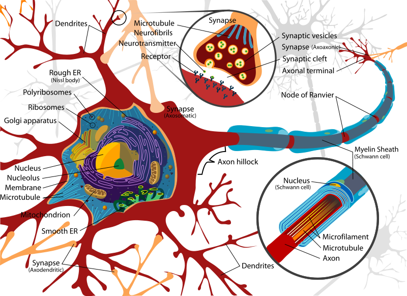 This is beautiful it makes me want to start doing detailed this is beautiful it makes me want to start doing detailed research and drawing again neuron diagrammotor ccuart Image collections