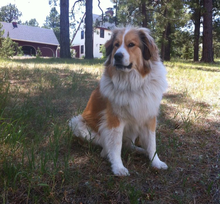 Burmese Mountain Dog Great Pyrenees Dogs Golden Retriever