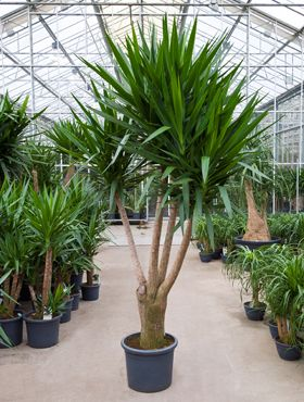 Yucca elephantipes ideas for the valley terrace garden for Yucca elephantipes exterieur