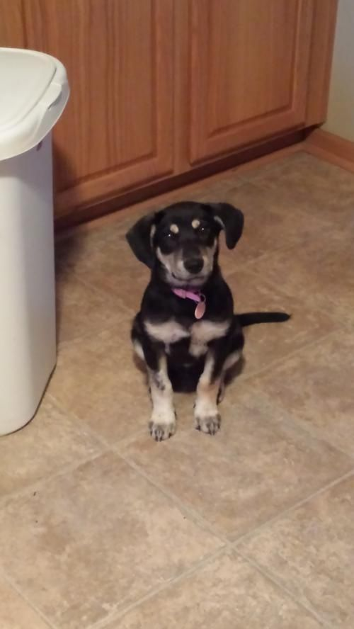 Adopt Fiona On Petfinder Shepherd Dog Labrador Retriever Mix Animal Rescue