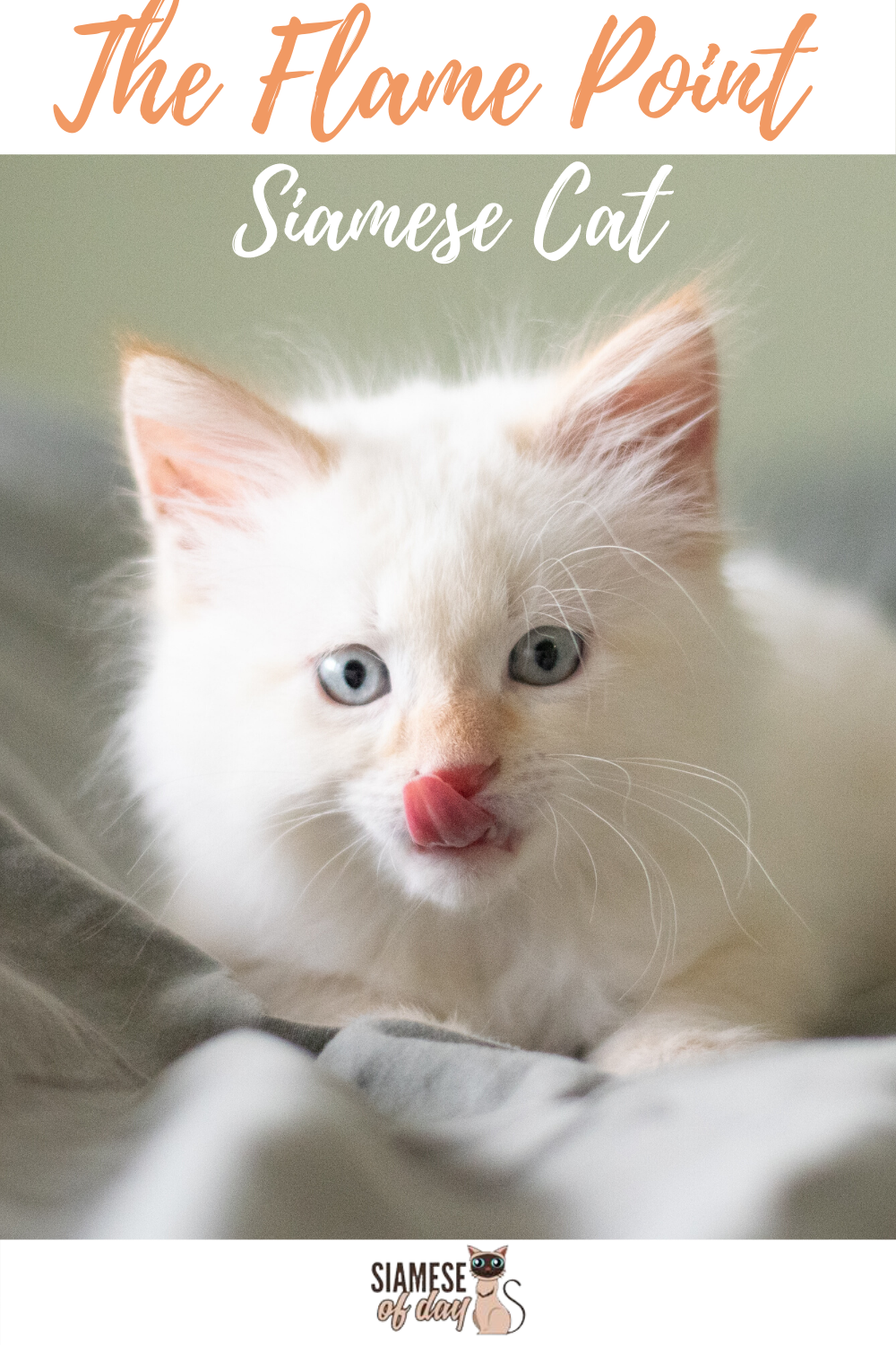 Red Flame Point Siamese Cats In 2020 With Images Siamese Cats Siamese Kittens Kitten Care