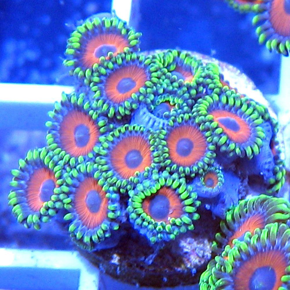 Live Coral PRIMO EAGLE EYE ZOA Polyp Frag Live Soft Coral