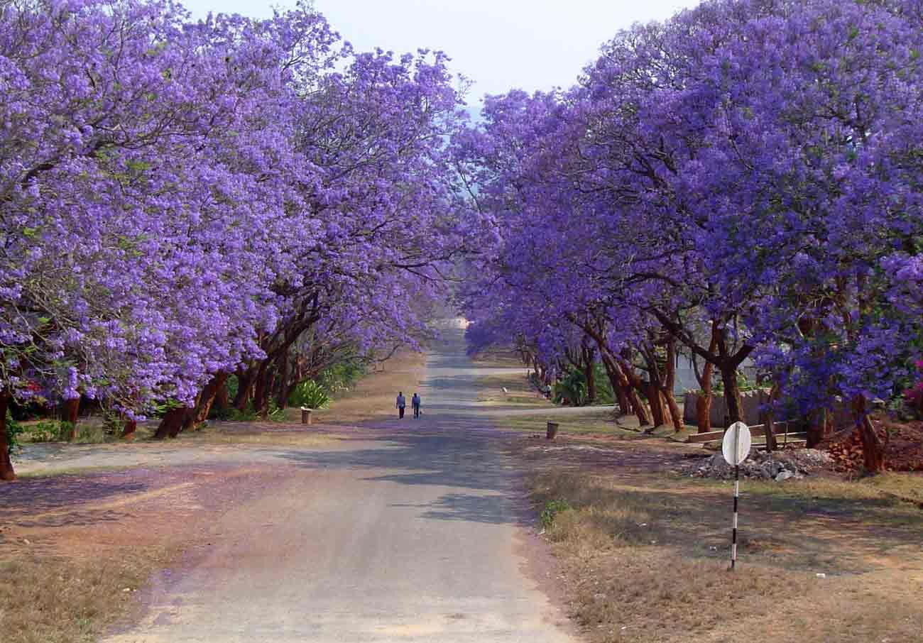 Jacaranda mimosifolia Bignoniaceae, native to tropical