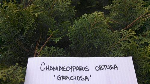 Chamaecyparis obtusa 'Graciosa', Hinoki Cypress