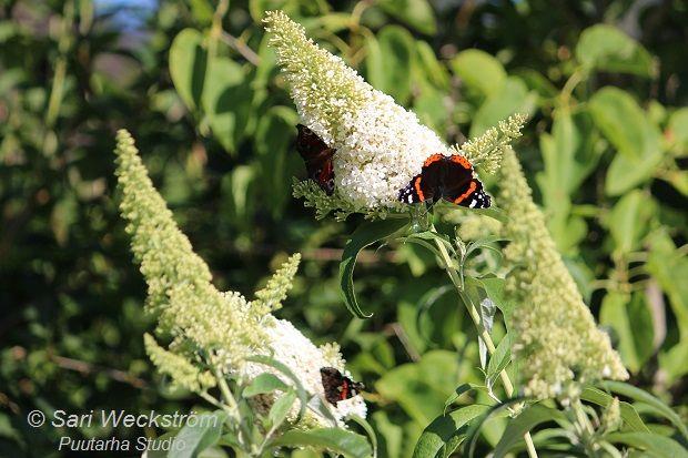 Buddleja eli syyssyreeni on ehdottomasti paras kasvi houkuttelemaan värikkäitä päiväperhosia. On muitakin hyviä kasveja, mutta syyssyrikässä on aina eniten perhosia. Heti kun aamulla aurinko paistaa siihen, saapuvat perhoslaumat. Perhoset ovat kohta kuin humaltuneena syyssyrikän medestä …