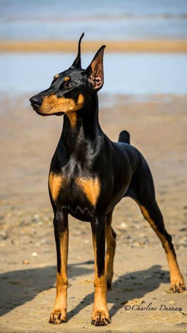 I Know Who S Dobe This Is Sure Is Good Looking Doberman