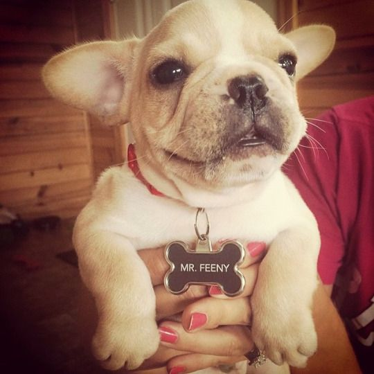 Mr Feeny French Bulldog Puppy Via Batpig Me Tumble It Bulldog French Bulldog French Bulldog Puppy