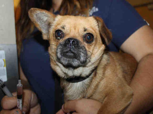 Chug Dog For Adoption In Modesto Ca Adn 606511 On Puppyfinder