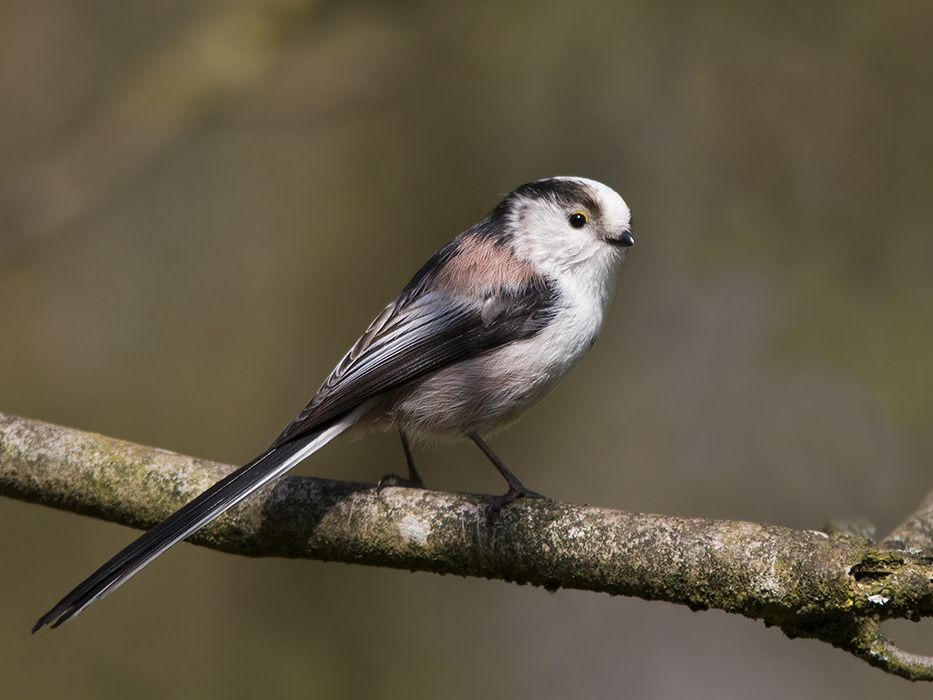 Staartmees / long-tailed tit by Robert Westerhof on 500px
