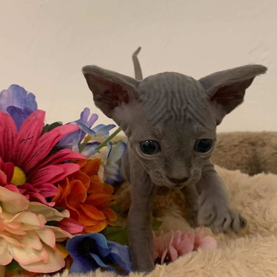 Hairless Cats For Sale Near Me In 2020 Cute Hairless Cat Hairless Cat Baby Hairless Cat