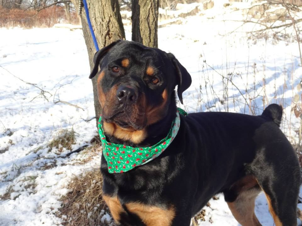 12 18 Month Male Rottweiler Dog For Adoption: 12/14/13 Brooklyn Center My Name Is DOUG