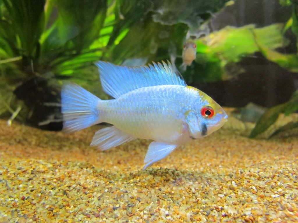 Electric blue ram freshwater aquariums fish etc for Blue freshwater fish