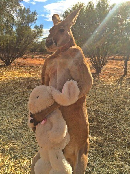 stärkste känguru
