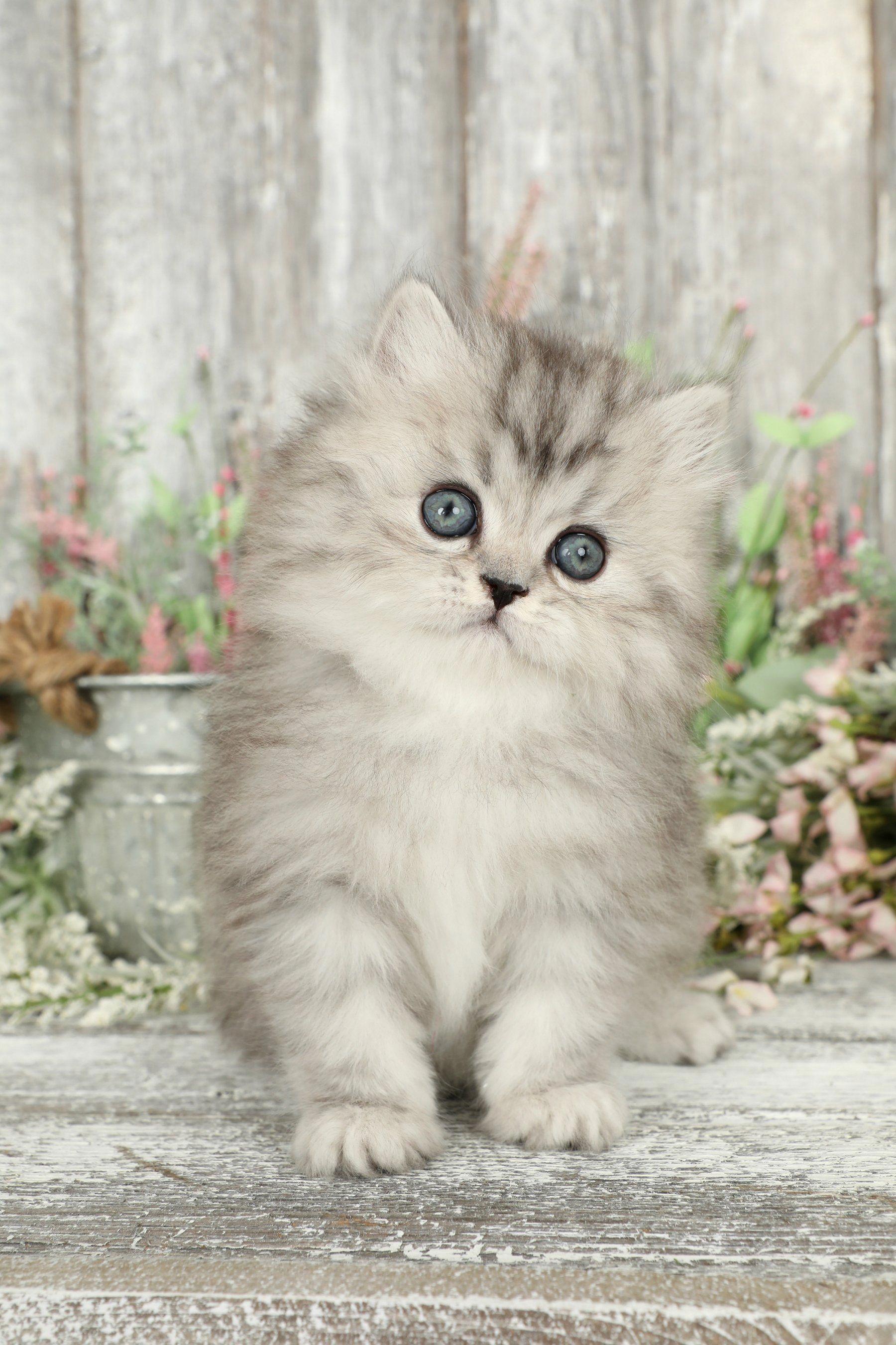 Cute Animals Videos Tumblr Rare Cute Animals List Kittens Cutest Kitten Breeds Cute Animals List
