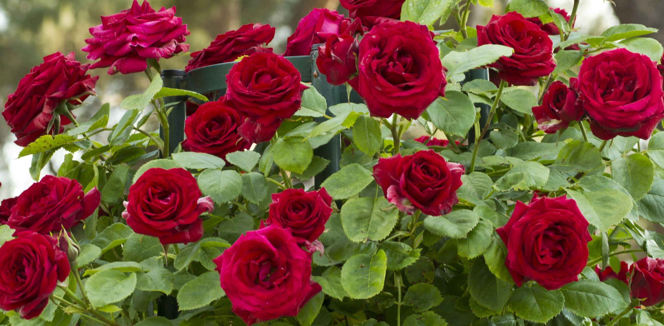 ... un mazzolin di rose...