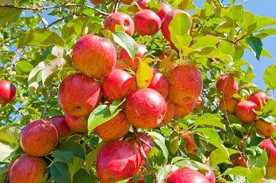 How To Prune An Apple Tree   Organic Gardening