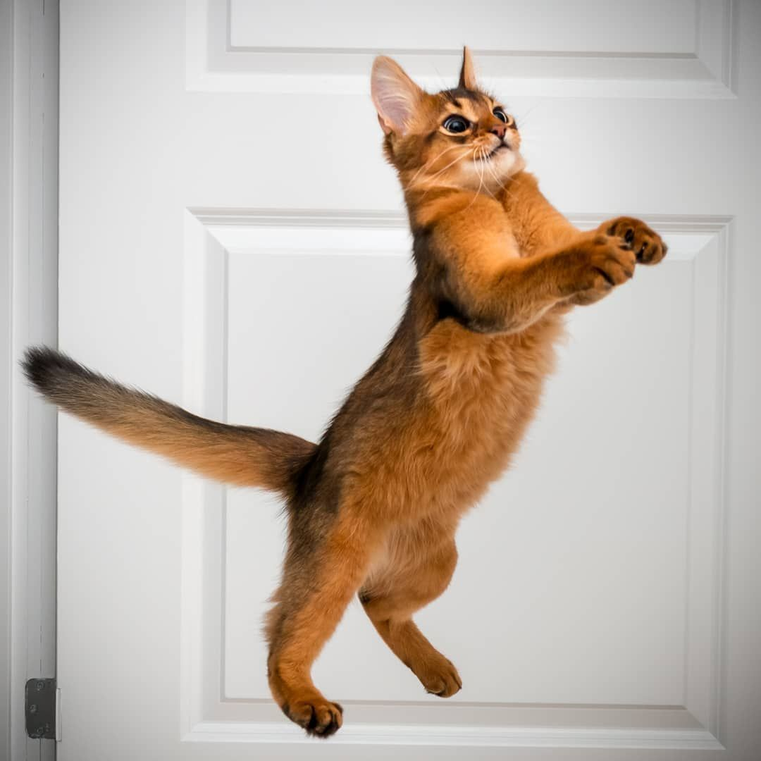 Any Cats And Kitten That Are Cute See More Ideas About Cute Cats Cute Kittens Tags Cat Cats Kitten Cutecats Cutekitten Abyssinian Cats Cats Cat Breeds