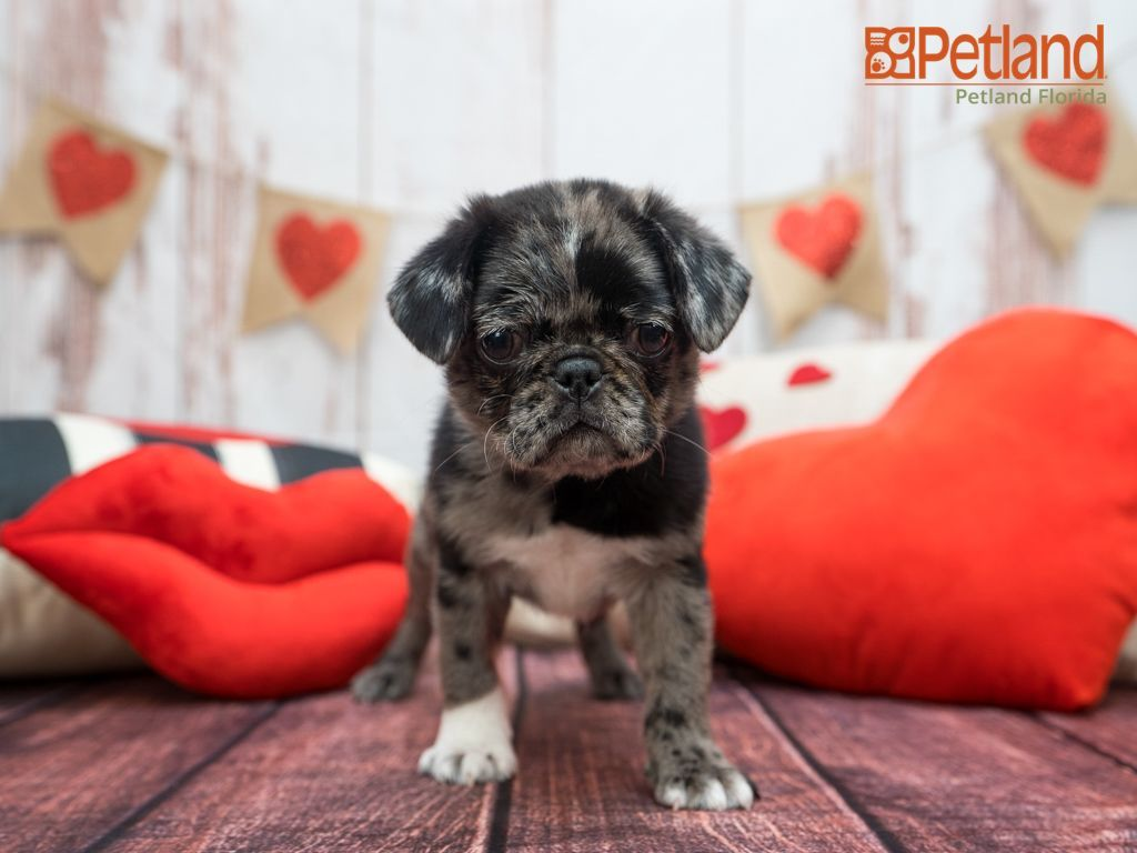 Puppies For Sale Pug Puppies Pug Puppies For Sale Puppies