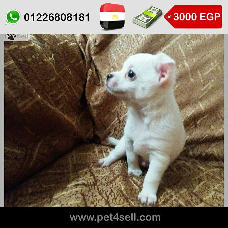 Egypt Cairo Pure Chihuahua Puppies For Sale 45 Days Old Vaccinated Pocket Size And Mini Siz Chihuahua For Sale Chihuahua Puppies Chihuahua Puppies For Sale