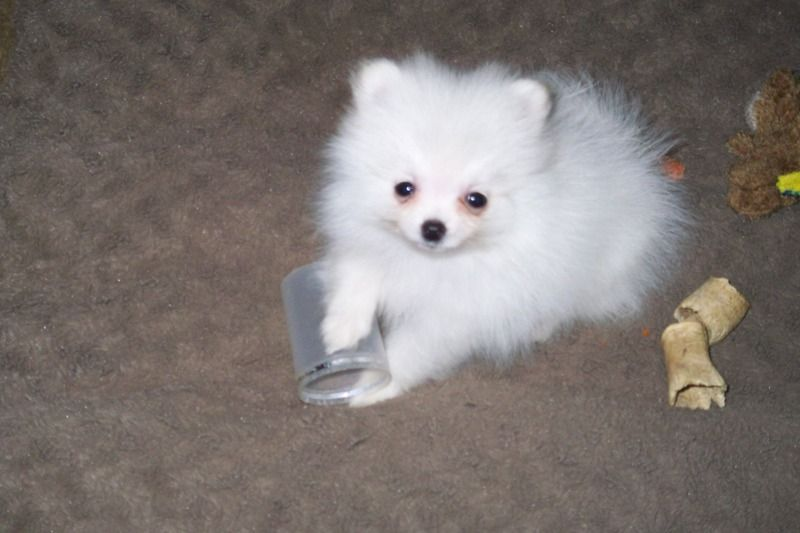 Pin On Pomeranian Puppies For Sale
