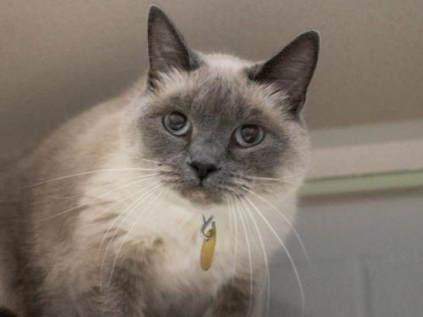 Siamese and Domestic Short Hair mixed Cat for Adoption in