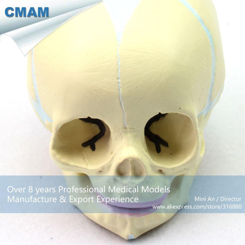 CMAM-SKULL04 Human Skeleton Fetal Skull Baby Infant Anatomy Model ...