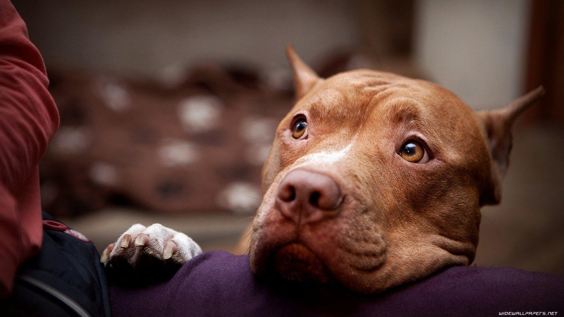 American Pitbull Wallpaper Pitbulls Pitbull Terrier Dogs And Puppies