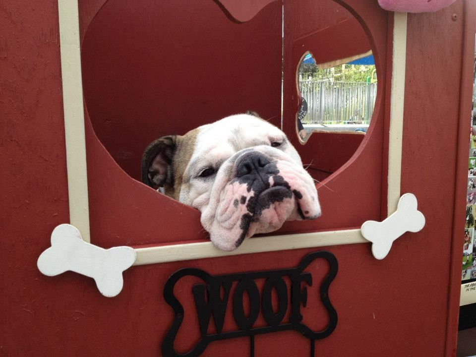 Bull Dog Kissing Booth Happy Animals Kissing Booth Puppy Photos